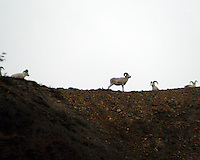 Dall sheep on a ridge.