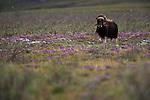 Muskox, Arctic National Wildlife Refuge, Alaska, USA