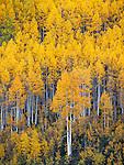 Gunnison National Forest, West Elk Mountains, CO: Aspen hillside in fall