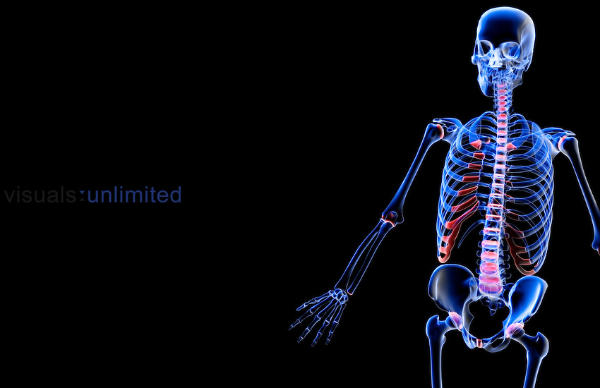 A superior anterolateral view (left side) of the bones of the upper body. Royalty Free