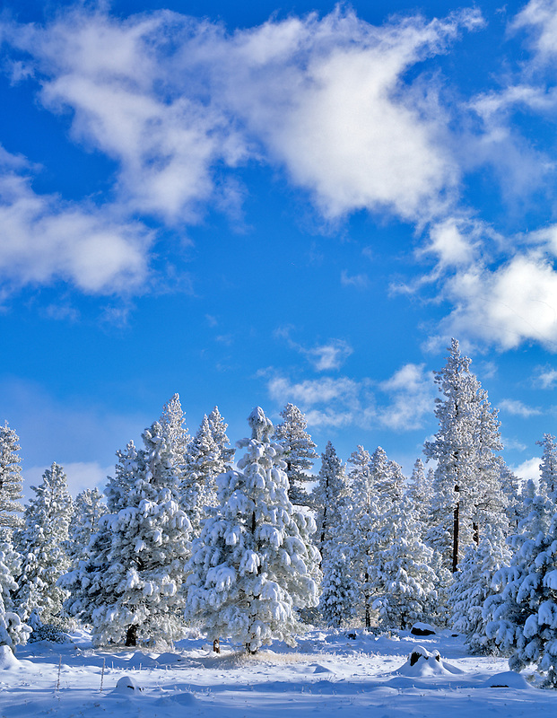 Fresh snow on pine trees. Fremont National Forest, Oregon.