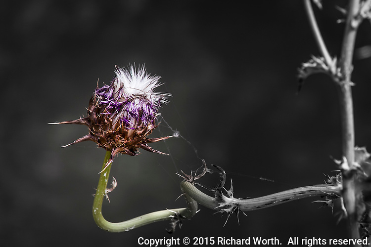 A milkthistle in transition: changing from flower to seeds with 'wings'.  Manipulated in software to render flower and seeds in color against a B&W background.  Photographed in Fremont, California's Central Park.