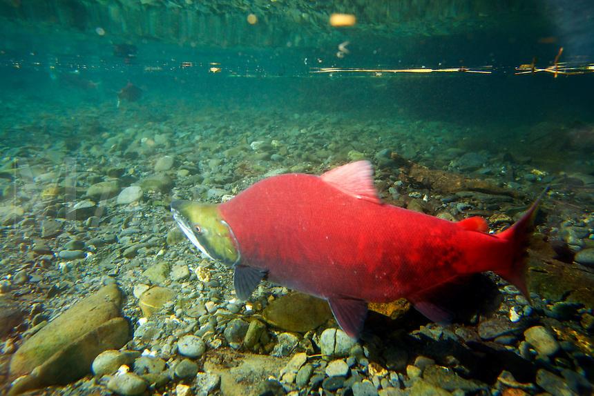 Sockeye Salmon spawning, Kenai Peninsula, Chugach National Forest, Alaska.