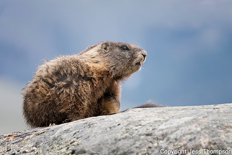 Marmot, Yellowstone National Park