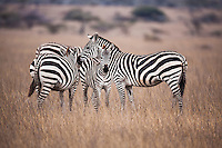 Small group of African plains zebras grazing in long dry grass including a mother and her calf in Kenya, Africa (photo by Wildlife Photographer Matt Considine)