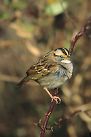 White throated Sparrow, Cape May, New Jersey