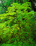 Olympic National Park, WA<br /> Varied greens of moss covered trunks and brilliant leaves of a vine maple (Acer circinatum) in the Queets rain forest of the Olympic Peninsula