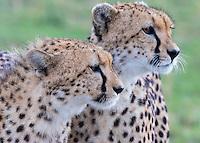 Two Cheetahs       Kenya 2015