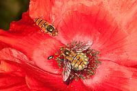 Hain-Schwebfliege, Gemeine Winterschwebfliege, Winter-Schwebfliege, Hainschwebfliege, Hain - Schwebfliege, Parkschwebfliege, Männchen, Episyrphus balteatus, Blütenbesuch auf Mohn, Papaver