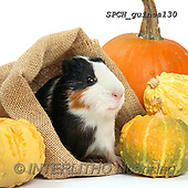 Xavier, ANIMALS, REALISTISCHE TIERE, ANIMALES REALISTICOS, photos+++++,SPCHGUINEA130,#A#, EVERYDAY ,funny