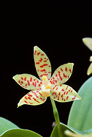 Phalaenopsis pallens orchid species endemic to the Philippines