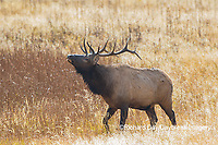 01980-02916 Elk (Cervus elaphaus) bull male bugling, Yellowstone National Park, WY