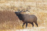 01980-02916 Elk (Cervus elaphaus) bull male bugling, Yellowstone National Park, WY