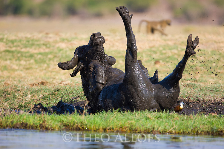 African (cape) buffalo (Syncerus caffer) taking mud bath on bank of Chobe River, Chobe National Park,
