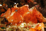 Hispid Frogfish, Antennarius hispidus, Lembeh Straits, Sulawesi Sea, Indonesia, Amazing Underwater Photography