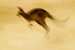 Eastern Grey Kangaroo (Macropus giganteus) hopping, Mount Taylor Nature Reserve, Canberra, Australian Capital Territory, Australia