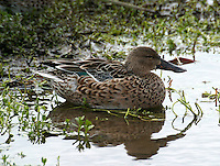 Adult female northern shoveler