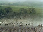 Sheep feeding on turnips near Geraldine Canterbury New Zealand.