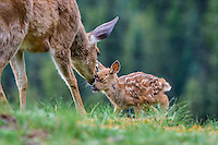 Columbian black-tailed deer (Odocoileus hemionus columbianus) doe greeting young fawn. Pacific Northwest.  Summer.
