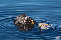 Sea Otter (Enhydra lutris) feeding on crab.  West coast of U.S.A.