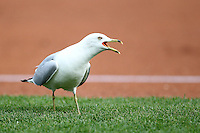 A seagull looks for food during a game between the Pawtucket Red Sox and Buffalo Bisons at Coca-Cola Field on June 16, 2012 in Buffalo, New York.  Pawtucket defeated Buffalo 8-5.  (Mike Janes/Four Seam Images)