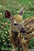MA11-064z  White-tailed Deer - fawn - Odocoileus virginianus