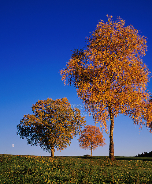Birch trees with fall colors and moon, Oberaegeri, Switzerland