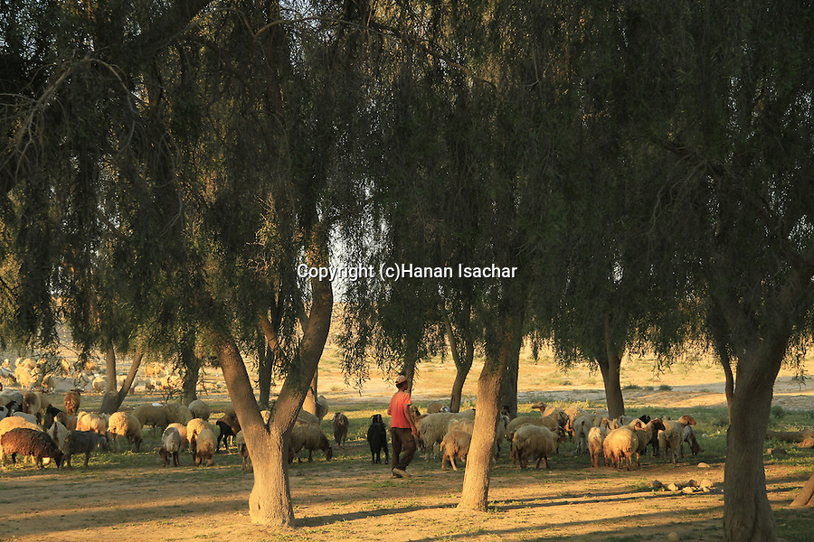 Israel, Negev, a shepherd with his sheep at Arad Park
