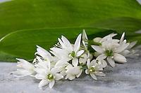 Bärlauch, Bär-Lauch, Blüten und Blätter, Allium ursinum, Ramsons, Wood Garlic, Wood-Garlic, L'ail des ours, ail sauvage