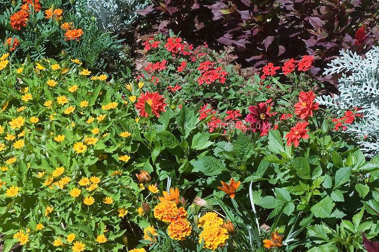 Annuals in the garden: Marigold, Strawflower, Dusty Miller, Dahlia mixture