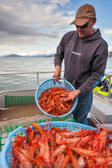 Fisherman holds baskets of live spot shrimp or sometimes called Alaska prawns, recently caught from the waters of Prince William Sound.