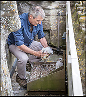 BNPS.co.uk (01202 558833)<br /> Pic: JamesFisher/BNPS<br /> <br /> RSPB conservation officer Phil Sheldrake places the orphan chick ,Wylye, in the nest with Salisbury's chick Dene.<br /> <br /> An orphaned peregrine falcon chick whose parents were deliberately poisoned has been tagged as it prepares to leave its adopted nest.<br /> <br /> The young bird was rescued from its nest by experts after its parents were found dead on the ground.<br /> <br /> It was placed into a nest with another chick of similar age in the tower of Salisbury Cathedral, Wilts, and reared by its adopted mother.<br /> <br /> Phil Shelldrake, of the RSPB, has ringed the chick so they can monitor it in the future before it flies the nest.