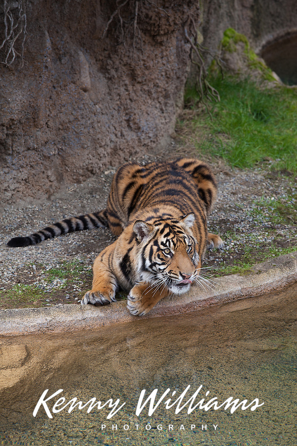 Rare Sumatran Tiger, classified as critically endangered, Point Defiance Zoo & Aquarium, Tacoma, Washington State, WA, USA.