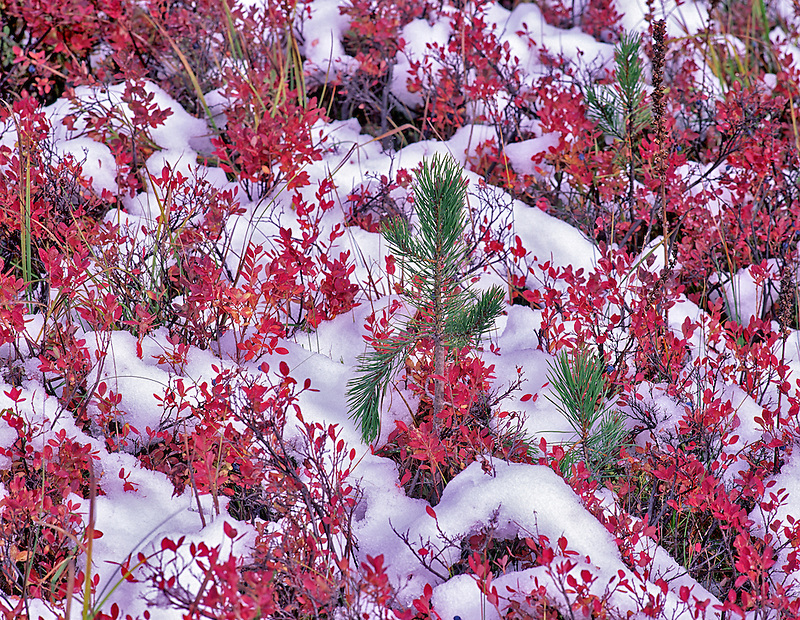 Huckleberry in fall color with snow. Three Sisters Wilderness, Oregon.