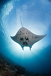 AManta Ray, Manta birostris, Mi'il Channel, Yap, Micronesia, Pacific Ocean