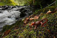 Rough-skinned Newt - Taricha granulosa - My first newt, several were found crawling out of this mountain stream in Western Oregon. This species is highly toxic if eaten and its only predator, the Garter Snake, is more or less immune.