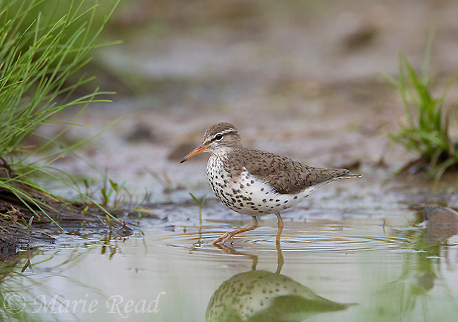 Spotted Sandpiper (Actitis macularia), breeding plumage walking along the edge of a pond in spring, Caroline, New York, USA