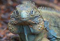 Blue Rock Iguana; Cayman Islands; Cyclura; lewisi;