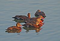 596880132 a small flock of wild black-bellied whistling ducks dendrocygna autumnalis float on a pond at edinburg world birding center edinburg texas united states