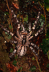 Indian ornamental spider, Poecilotheria regalis, on tree,  world s largest tree dwelling Tarantula.India....