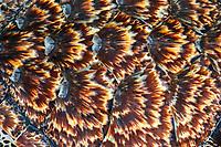 Detail of the shell of a hawksbill sea turtle, Eretmochelys imbricata, captive, Kula Eco Park, Viti Levu, Fiji, South Pacific Ocean