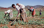 (96/39/16)-CA Shamrock-Chegutu-Zimbabwe - June 27, 1996 Women/mothers carrying their children while working/weeding on a plot with peas; FNS/SAN, agriculture, rural, labour -- Photo: © HorstWagner.eu
