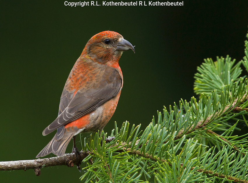 Red crossbill (Loxia curvirostra) Adult male perched on a douglas fir branch and looking back over his shoulder.<br />
