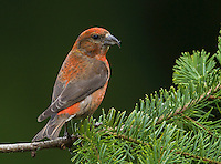 Red crossbill (Loxia curvirostra) Adult male perched on a douglas fir branch and looking back over his shoulder.<br /> Woodinville, King County, Washington State<br /> 5/27/2012