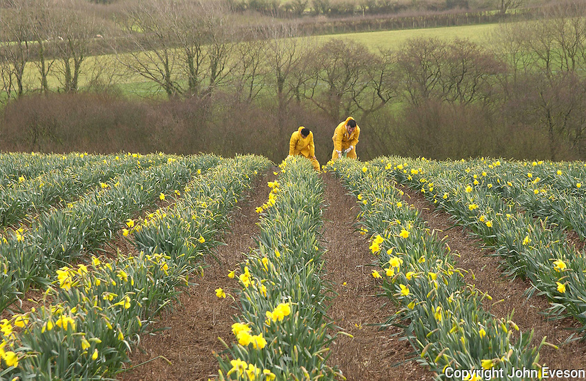 Picking daffodils (Narcissus pseudonarcissus), Cornwall.