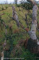 Common Potoo (Nictibius griseus), perfectly camouflaged, sitting on a branch, savanna habitat, Pampas del Heath, Madidi National Park, Bolivia.