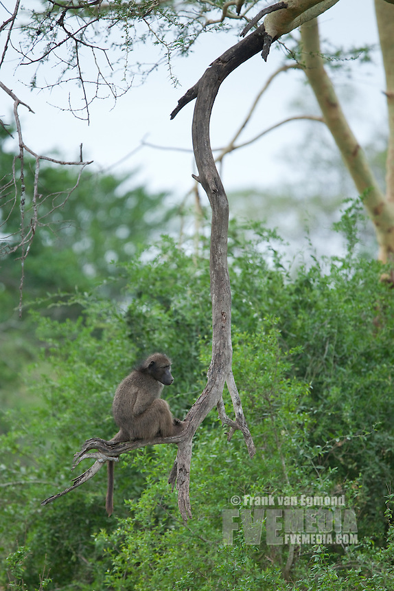 Chacma baboon (Papio ursinus) sitting on a branch..Mkhuze Game Reserve, Kwazulu-Natal, South Africa..November 2010.