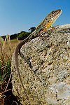 Male Lizard (Podarci bocagei)  on a stone, Portugal.