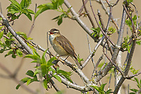 Sedge Warbler Acrocephalus schoenobaenus L 12-13cm. Well-marked wetland warbler with distinctive song. Sexes are similar. Adult has dark-streaked sandy brown upperparts and pale underparts, flushed orange-buff on breast and flanks. Head has dark-streaked crown, striking pale supercilium and dark eyestripe. Juvenile is similar but breast is faintly streaked. Voice Utters a sharp chek alarm call. Song comprises rasping and grating phrases interspersed with trills and whistles. Status Widespread summer visitor to rank marshy vegetation, scrub patches on fringes of reedbeds and overgrown ditches.