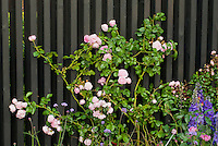 Pink and purple color themed garden of climbing roses Rosa on black fence, Delphinium and Verbena bonariensis, perennials and annuals together
